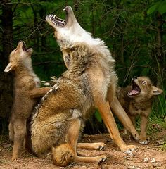 Coyote mom teaches her pups to howl, at a wildlife preserve in Hinckley, Minnesota