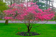 Best Dogwood Trees Types Facts & Pictures of Landscaping Ideas Dwarf Trees, Trees And Shrubs, Trees To Plant, Dwarf Flowering Trees, Spring Flowering Trees, Landscaping Trees, Front Yard Landscaping, Flower Landscape, Landscape Design