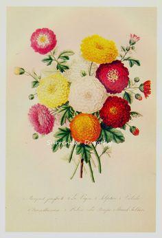 Bouquet Of Chrysanthemums Prestele Botanical Illustration by SurrendrDorothy, via Flickr