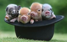 18 Pig GIFs To Brighten Your Day