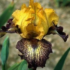 Iris 'Petit Tigre'
