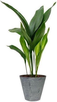Cast Iron Plant, Flower Identification, Horticulture, House Plants, Claire, Flower Arrangements, Leaves, Floral, Nature