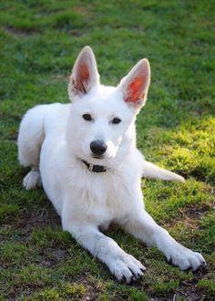 Meira, our White German Shepherd puppy 15 weeks