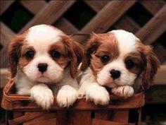 raza de perros pequeños-1perros-pequenos.jpg