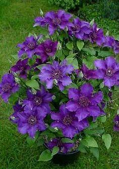 Clematis 'Suzy Mac' (reblooming) ~large flowered clematis