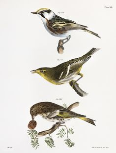 The Chestnut-sided Warbler (Sylvicola icterocephala) The Hemlock Warbler (Sylvicola parus) The Pine Finch (Carduelis pinus) illustration from Zoology of New york - by James Ellsworth De Kay Vintage Bird Illustration, Illustration Art, Vintage Birds, Vintage Art, New York Public Library, Print Artist, Free Illustrations, Woodblock Print, Natural History