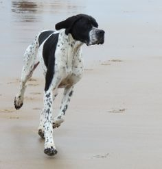 English Pointer On the beach