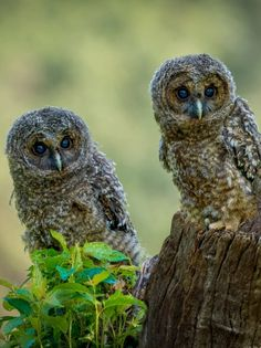 Owl Photos, Owl Pictures, Beautiful Birds, Animals Beautiful, Raptors, Beautiful Creatures, Aunt, Wonders Of The World, Wildlife