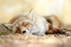 Photo Sweet Dreams - Red Fox taking a nap by Roeselien Raimond on Animals And Pets, Cute Animals, Wild Animals, Fox And Rabbit, Foxes Photography, Most Beautiful Animals, Beautiful Moments, Cute Fox, Take A Nap