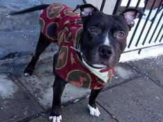 GONE - 03/21/15 Manhattan Center -P  My name is BRODY. My Animal ID # is A1029275. I am a male black and white american staff and am pit bull ter mix. The shelter thinks I am about 1 YEAR 6 MONTHS old. For more information on adopting from the NYC AC&C, or to find a rescue to assist, please read the following: http://urgentpetsondeathrow.org/must-read/