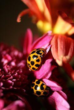 Ladybird Bliss