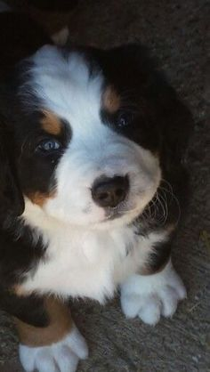 Bermese Mountain Dog, Mountain Dogs, Cute Puppies, Cute Dogs, Dogs And Puppies, Doggies, Puppy Pictures, Animal Pictures, Cute Baby Animals