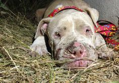 Lovables: PETITION Please sign - Governor John Kasich: Call for tougher dog fighting laws in Ohio. I signed it. Rescue Dogs, Animal Rescue, Bulldog Rescue, Animal Adoption, Pet Adoption, The Power Of Forgiveness, Stop Animal Cruelty, Dog Fighting, Pit Bull Love