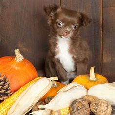 A few good tips, particularly the Macadamia and Walnuts.......>The general rule of thumb is that even if dogs can eat nuts, they probably should be kept away. Halloween picture of a three months old chihuahua puppy dog with pumpkins by Shutterstock.