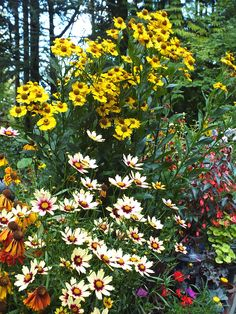 Sneezeweed, Coreopsis And Begonia
