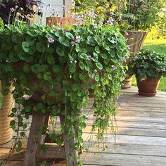 viola hederacea in rustic planter Rustic Planters, Window Boxes, Hanging Baskets, Plant Care, Container Gardening, Deco, Plants, Fall Hanging Baskets, Decoration