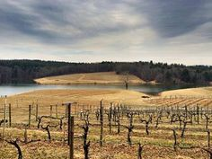 #Biltmore grapevines in early March waiting on spring to arrive. The vines are usually pruned in late March before the spring buds break. www.biltmore.com