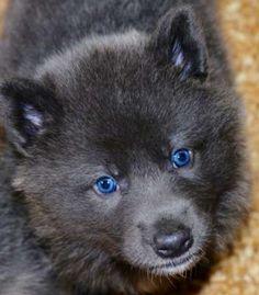Blue Bay Shepherd Pup - those eyes!!!