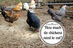 How much food does a chicken need per day? The answer varies with conditions, breed, weather and how much foraging is available. Chickens eat all day long.
