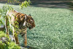 Tiger by wypi.org