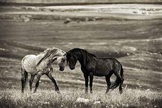 Horses  Chicoteague Pony wild horse stallion mustang salt water
