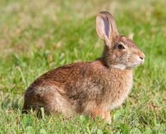 Image detail for -Cottontail Rabbit In Field from www.northrup.org