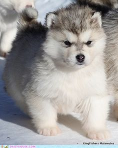 I adore Husky dogs or Mallemutte as the Inuit People refer to them their strength & loyalty were surpassed by none.