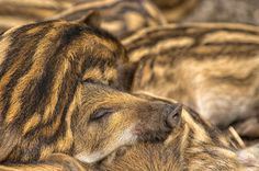 Sleeping young Boar by Friedhelm Peters on 500px