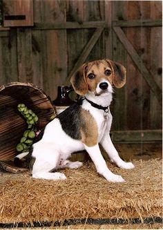Jack-a-bee...Jack Russell + Beagle = Adorable. Looks a lot like Emmie