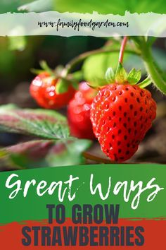 We've found some great ways to grow strawberries in containers. Strawberries taste delicious, are healthy, and cost a lot to purchase - making them a great addition to your garden. There are also some unique ways to grow strawberries rather than the traditional in the ground methods. Here are some inspiring strawberry growing ideas for you! #garden #gardeningtips #strawberries #growstrawberries Growing Strawberries In Containers, Grow Strawberries, Container Gardening, Gardening Tips, Indoor Gardening, Greenhouse Gardening, Flower Gardening, Vegetable Gardening, Strawberry Varieties