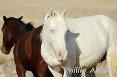 The herd areas in the Virginia Range have different gene mixes giving many color variations in the wild horses. This cremello mare received a dilute gene from each parent. Her herd area has many double dilute horses such as cremello and perlino and many single dilutes such as palominos and buckskins. #NevadaWilds wild horses