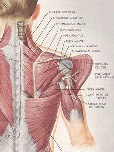 Gross Anatomy, Human Body Anatomy, Yoga Anatomy, Muscle Anatomy, Hand Therapy, Massage Therapy, Shoulder Rehab, Bones And Muscles, Anatomy Tutorial