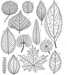 Botany Professor: How the grass leaf got its stripes
