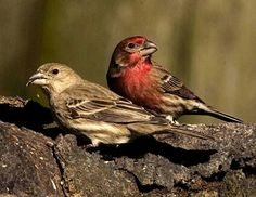 House finch. We call 'em red.