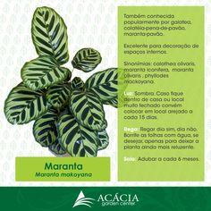 Maranta Makoyana - como cuidar!