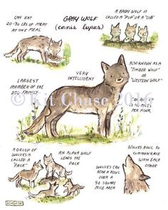 children's woodland guide to gray wolves