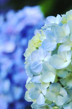 Hydrangea~my fav flower I love any BLUE FLOWER especially these.
