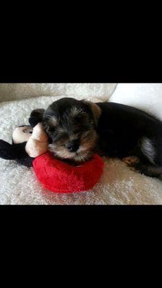Mini Schnauzer puppy with Mickey Mouse toy. Awww!!