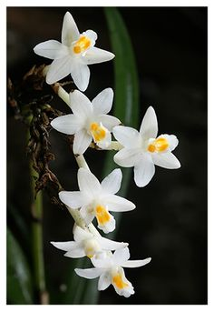 Earina autumnalis: New Zealand native orchid. Also known as Raupeka, Easter orchid. Flowers Nature, Exotic Flowers, Love Flowers, Beautiful Flowers, Orchid Flowers, Fruit Plants, All Plants, House Plants, Mini Orquideas