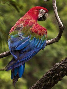 Foto arara-vermelha-grande (Ara chloropterus) por Rogério Sorvillo | Wiki Aves - A Enciclopédia das Aves do Brasil