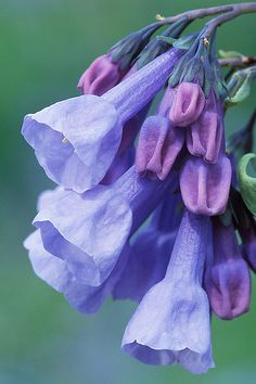 Flowers for all of us! Blossom Flower, My Flower, Flower Art, Flower Power, Types Of Flowers, Beautiful Flowers, Wild Flowers, Virginia Bluebells, Love Garden