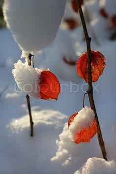 Snow-covered plants ♥g♥