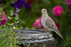 Morning Dove (pretty birdbath could be great indoor décor, too)