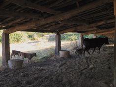 Perteneciente a la ganadería de LaNava del Rey, propiedad de la familia Berjano desde tiempos de su bisabuelaTeresa. Esta no es la primera vez que la vaca, llamada Lagartija, tiene partos múltiples;ya tuvo un par de mellizas con anterioridad