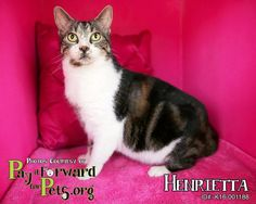 Henrietta * Cat • Domestic Short Hair • Adult • Female • Medium Summit County Animal Control Department Akron, OH