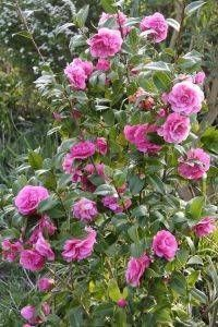 Take the time to take care of your roses. They need to be fed, and also sprayed for fungicide, and insects. They damage the bushes, and it's hard for them to recover in the heat.