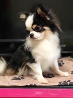 Effective Potty Training Chihuahua Consistency Is Key Ideas. Brilliant Potty Training Chihuahua Consistency Is Key Ideas. Chihuahua Love, Chihuahua Puppies, Cute Puppies, Cute Dogs, Pomeranian Pups, Baby Animals, Cute Animals, Puppies And Kitties, Doggies