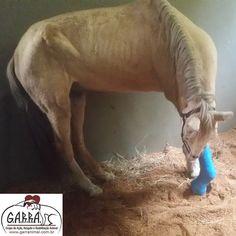 G.A.R.R.A. - Grupo de Ação, Resgate e Reabilitação Animal: Eros será submetido a uma nova cirurgia hoje! Ajud...
