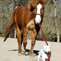 English Bull Terrier walking a Horse <3