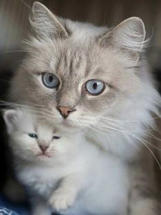 Image de cat, kitten, and kitty Tap the link for an awesome selection cat and kitten products for your feline companion! Cute Baby Cats, Cute Cats And Kittens, Cute Baby Animals, Cool Cats, Kittens Cutest, Funny Animals, Animal Babies, Fur Babies, Funny Cats